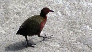 Aldabra_Rail_(Dryolimnas_cuvieri_aldabranus)