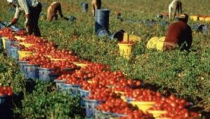 caporalato pomodori